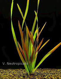 Neotropicalis