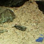Malawi aquarium bodem