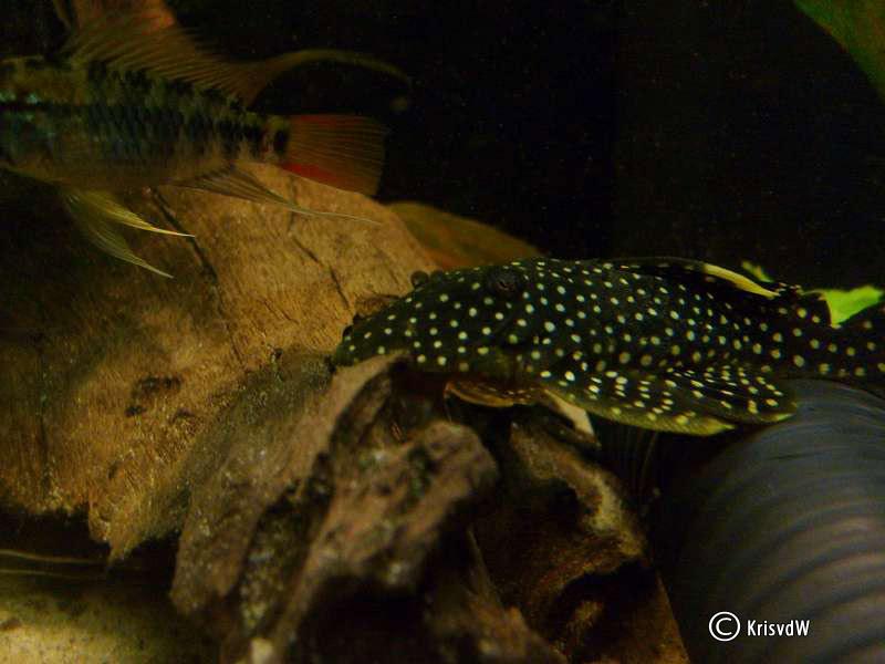 Gold Nugget Pleco With Cichlids Santa Barbara Institute for ...