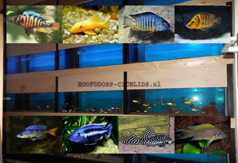 Hoofddorp-Cichlids
