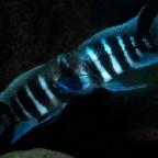tanganyika-underwater
