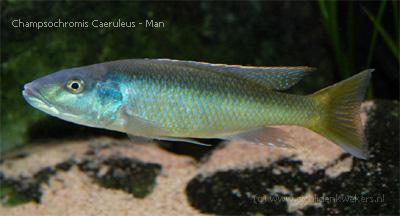 champsochromis caeruleus man