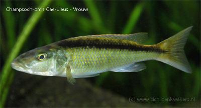 champsochromis caeruleus vrouw