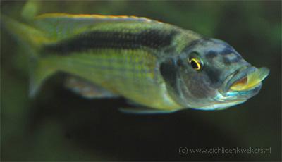 champsochromis caeruleus