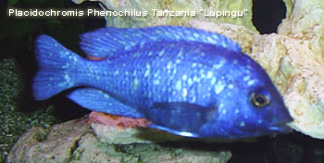Placidochromis phenochilus tanzania man
