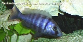 Placidochromis phenochilus tanzania vrouw