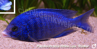Placidochromis white lips mdoka man