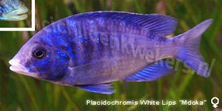 Placidochromis white lips mdoka vrouw