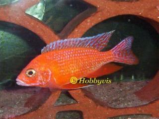 aulonocara rood