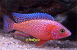 Aulonocara Fire-Fish