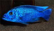 Haplochromis Fryergi