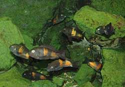 Tropheus groeps vis