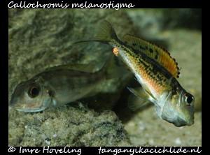 callochromis melanostigma