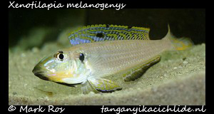 xenotilapia-melanogenys