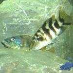 Malawi Aquarium Placidochromis milomo