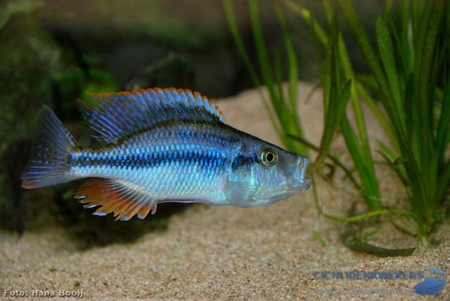dimidiochromis compressiceps halfwas man