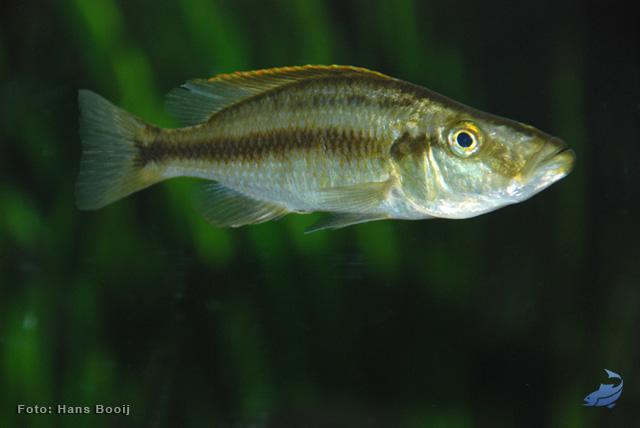 dimidiochromis-compressiceps-vrouw