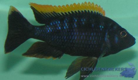 otopharinx lithobates black orange