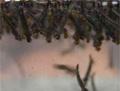 zwarte-muggenlarven