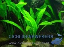 echinodorus-amazonicus