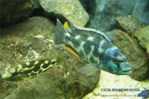 koppel nimbochromis livingstonii