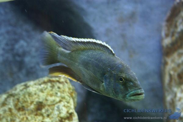 nimbochromis-livingstonii-broedkleur