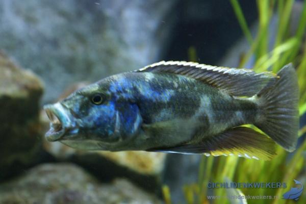 nimbochromis-livingstonii-man