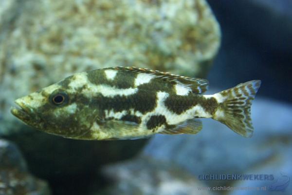 nimbochromis-livingstonii-vrouw