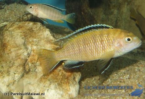tropheops-kakusa-red-fin-man