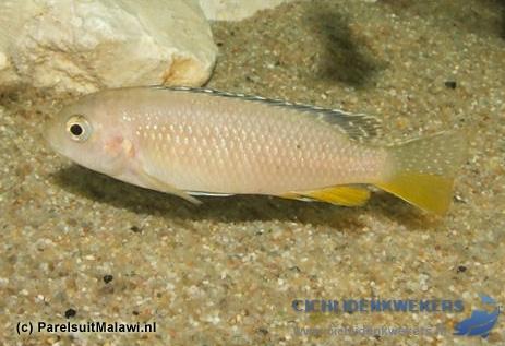 tropheops-kakusa-red-fin-vrouw