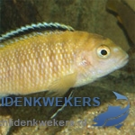 tropheops-kakusa-red-fin