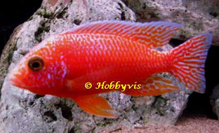Aulonocara Coral Red