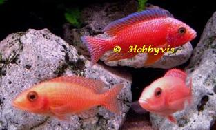 coral red trio