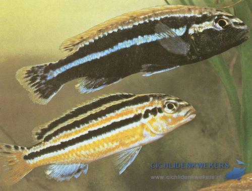 melanochromis-auratus