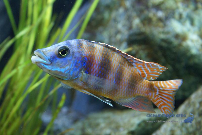 placidochromis-milomo-mbenji-red