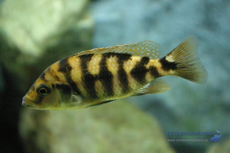 placidochromis-milomo-vrouw