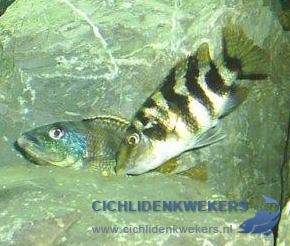 placidochromis-milomo