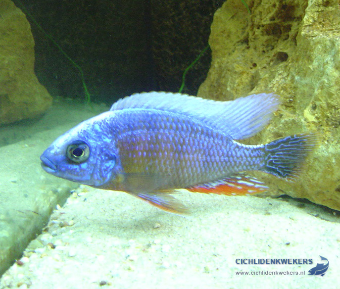 protomelas-taiwan-reef-man
