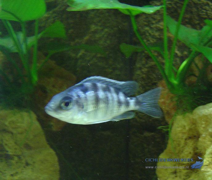 protomelas-taiwan-reef-vrouw