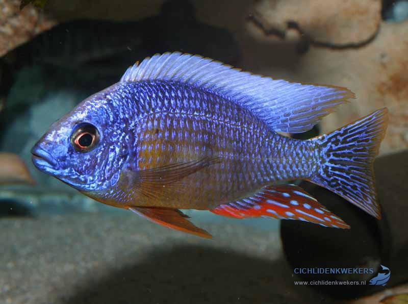 protomelas-taiwan-reef