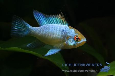ramirezi-blue