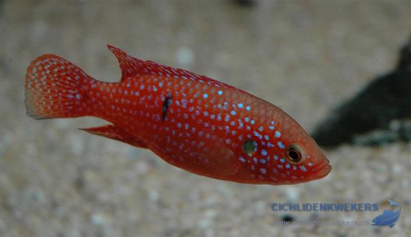 hemichromis-bimaculatus