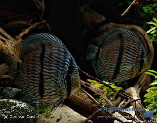 nhamunda-blue-face-heckels