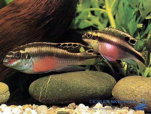 pelvicachromis-pulcher-kersenbuikcichlide