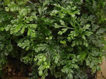 plantjebolbitus