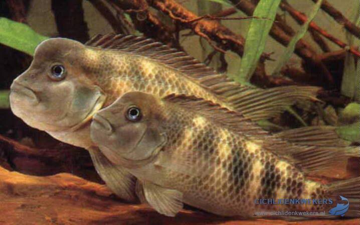 steatocranus-casuarius-bultkopcichlide