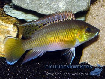 chromidotilapia-guntheri-loennbergii-man