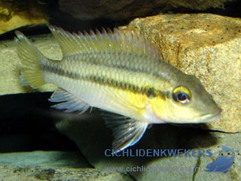 chromidotilapia-guntheri-loennbergii-vrouw