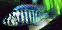 haplochromis-nigricans