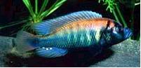 haplochromis-nyereri